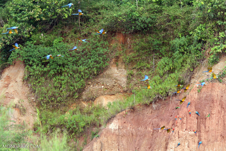 Blue-and-yellow macaws (Ara ararauna) flying toward clay lick
