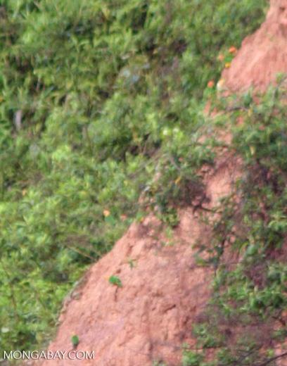 Orange cheeck parrots (Pionopsitta barrabandi) or Pionites leucogaster feeding on clay; very small