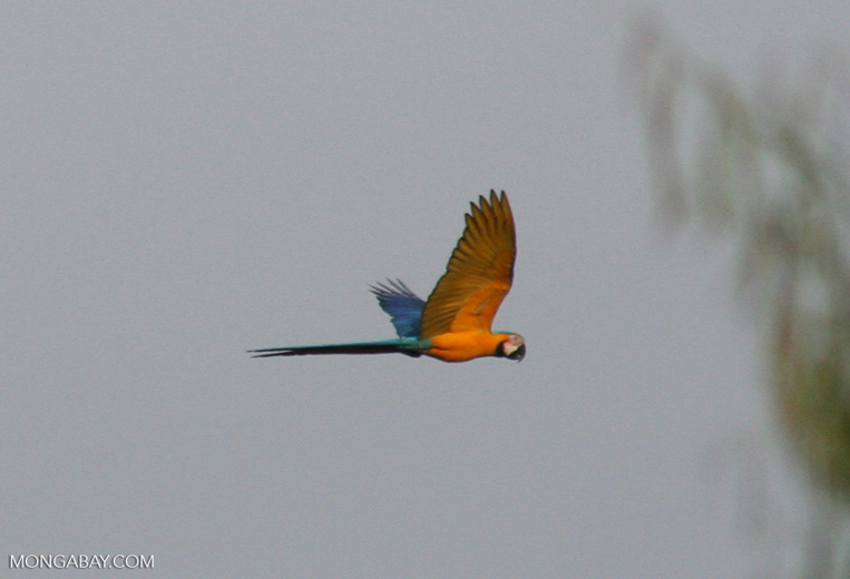 Blue-and-yellow macaw (Ara ararauna) flying with underwings visible