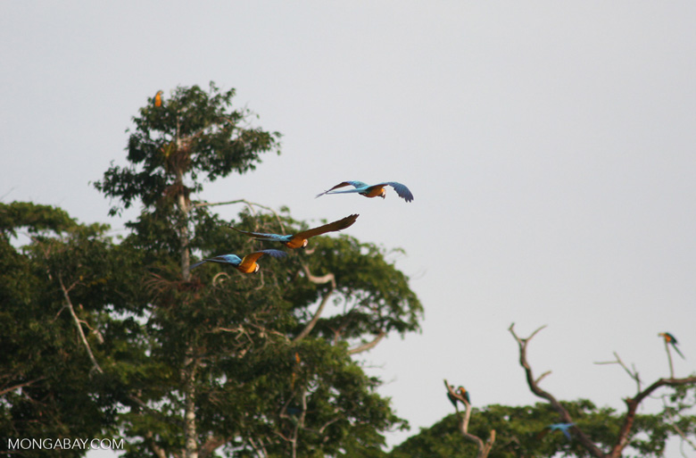 Three Blue-and-yellow macaws (Ara ararauna) flying