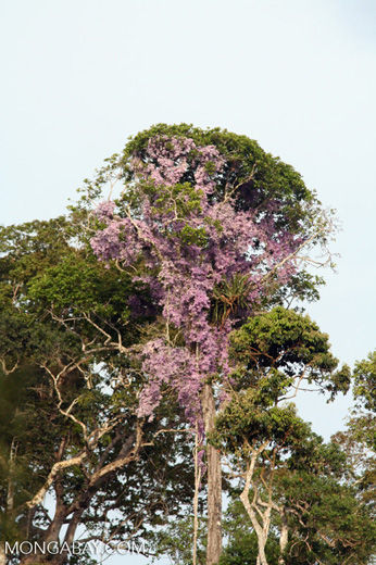 Vines with purple flowers growing in canopy tree