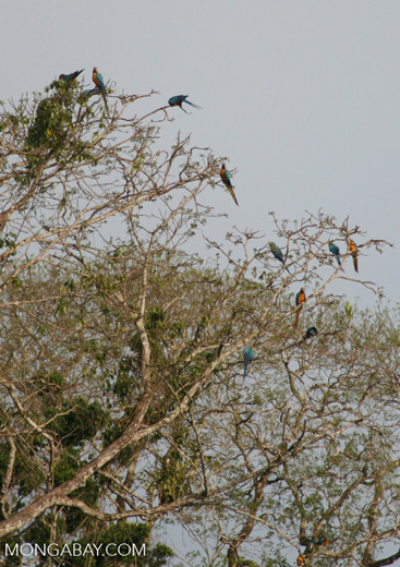 Blue-and-yellow macaws (Ara ararauna) perched in tree