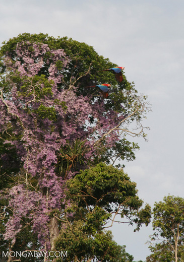 Scarlet macaws flying in front of purple flowers