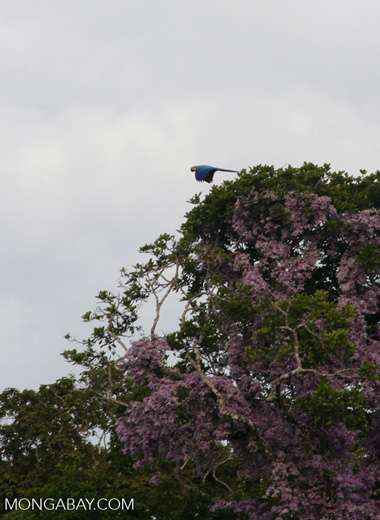 Blue-and-yellow macaw flying in front of purple flowers [tambopata-Tambopata_1029_4780s]