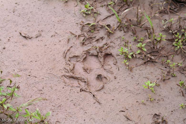 Jaguar footprint in mud