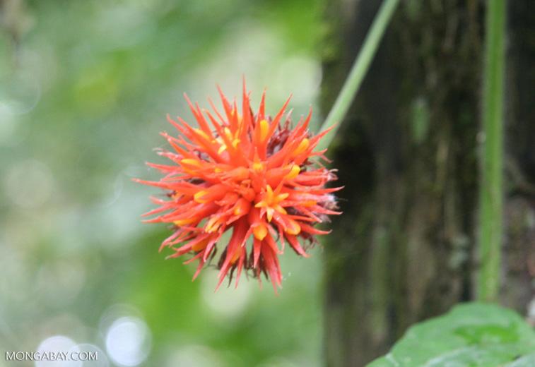 Orange and yellow ball-like flower in Peru