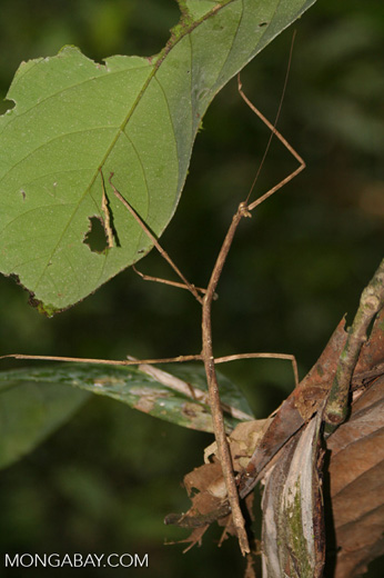 Walking stick in the Peruvian rainforest