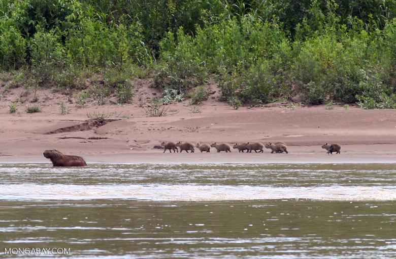 Cabybara (Hydrochaeris hydrochaeris) with babies along riverside