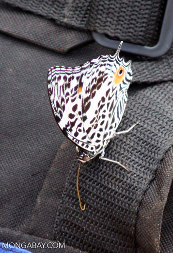 Black-and-white butterfly with orange eyespot in Peru