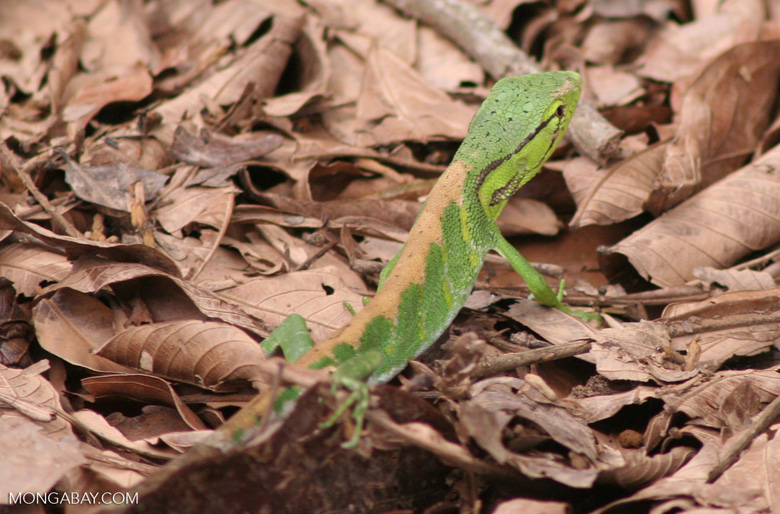 Bright green Polychrus liogaster lizard in the Peruvian Amazon
