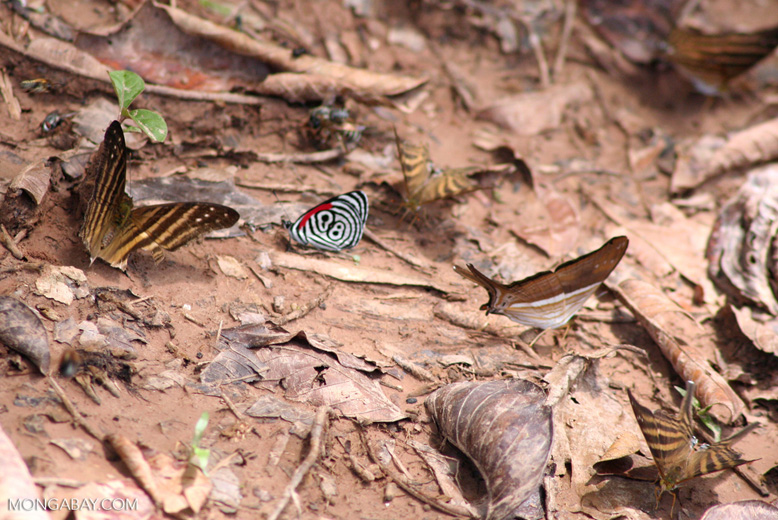 Diaethria clymena butterfly with Marpesia butterflies