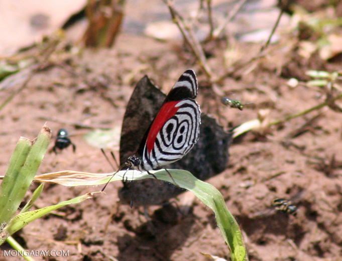 Diaethria clymena butterfly