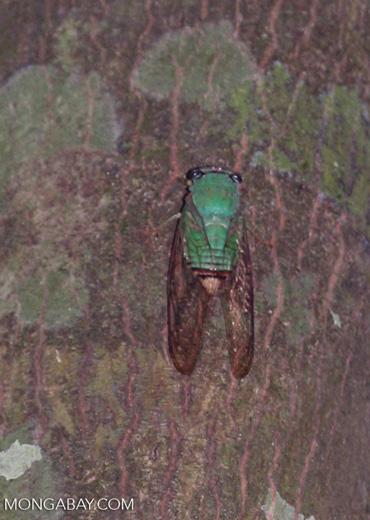 Green cicada in Peru