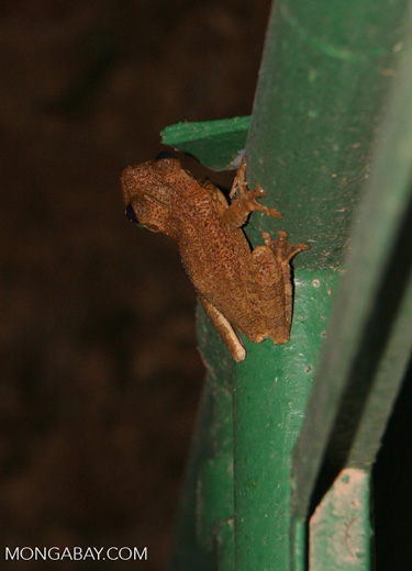 Treefrog on canopy tower structure [tambopata-Tambopata_1030_4983]