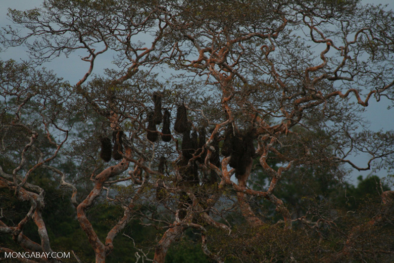 Oropendola (weaverbird) nests in canopy tree