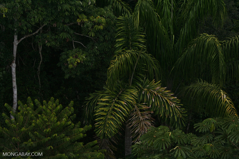 Palm tree in the rainforest canopy