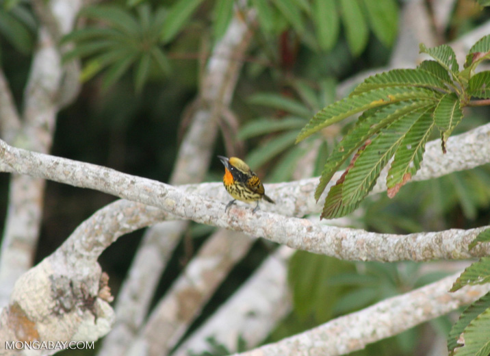 Gilded barbet in the rainforest canopy