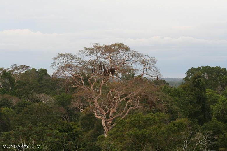 Oropendola (weaverbird) nests in canopy tree