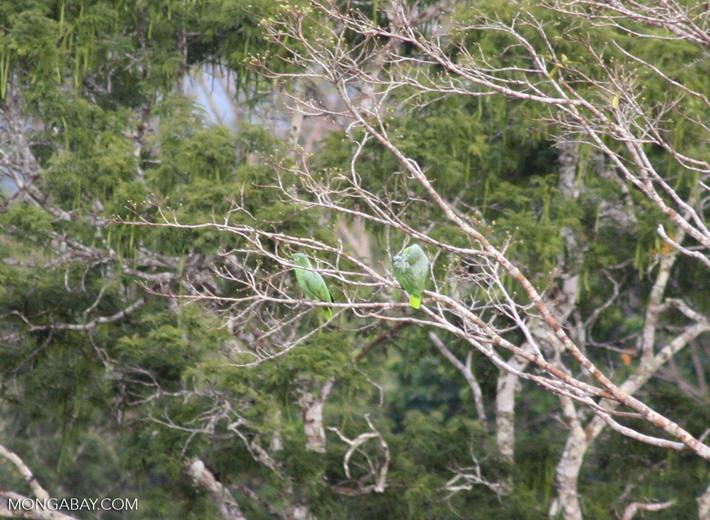 Yellow-crowned parrots (Amazona ochrocephala)