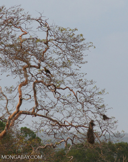 Amazonian Oropendola (Gymnostinops bifasciatus)