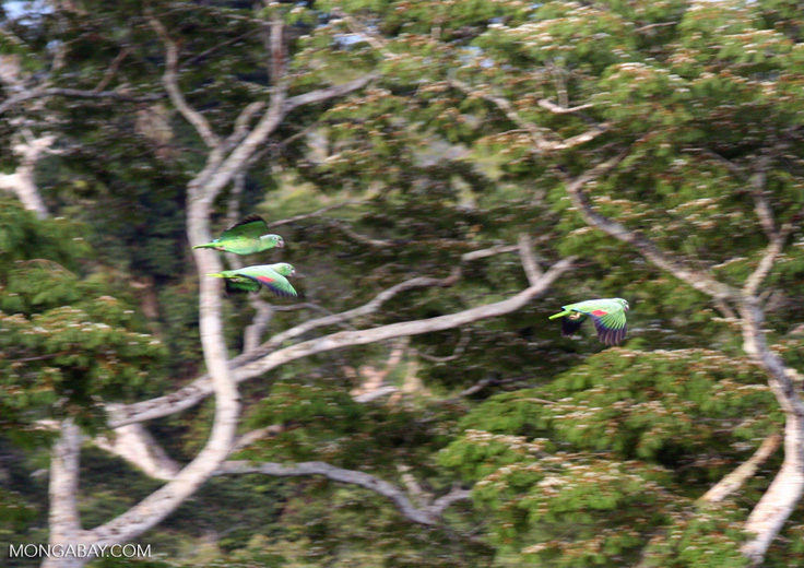 Mealy parrots in flight over rainforest