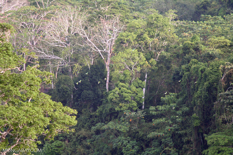 Parakeets flying over forest canopy