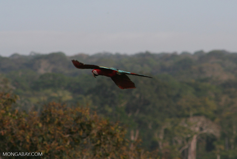 Red-and-green macaw flying over forest