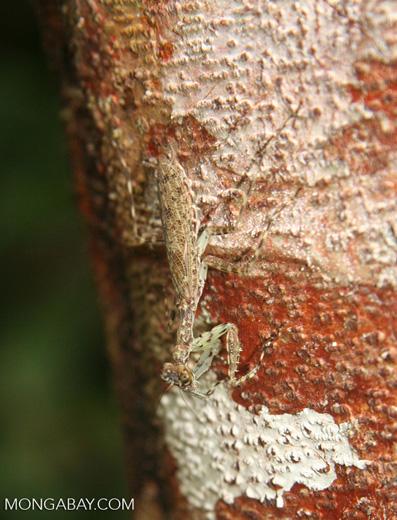 Camouflaged praying mantis on tree trunk