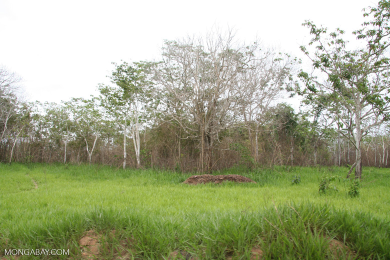 Vegetation that emerges after forest clearing near Puerto Maldanado