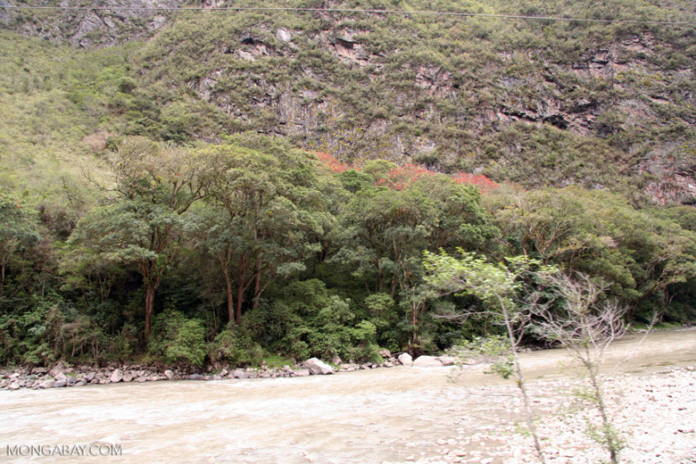 Red blooming trees along the Urubamba river