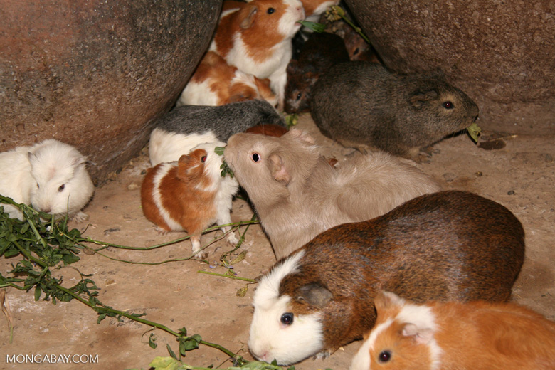 Guinea pigs; a food source in the Andes