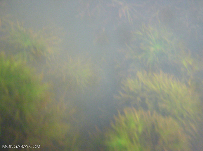 Foxtail aquatic plants in Amazon Oxbow lake [underwater-manu097]