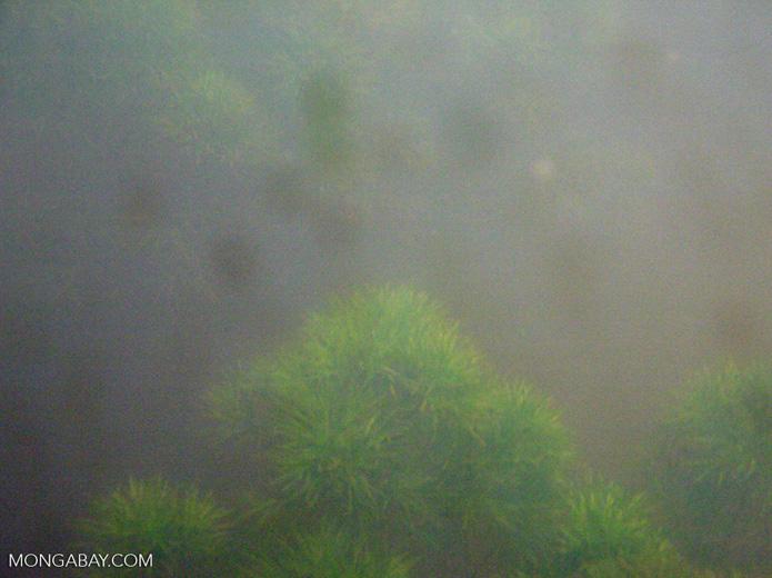 Foxtail aquatic plants in Amazon Oxbow lake [underwater-manu110]