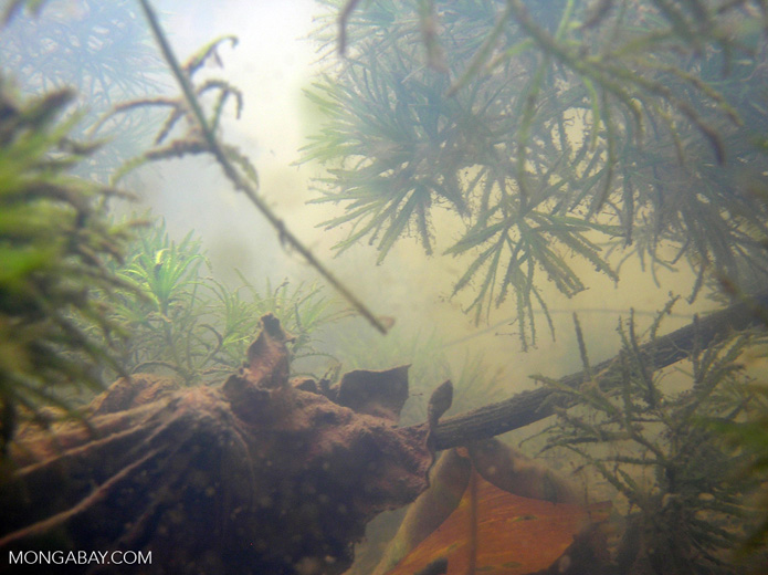 Foxtail aquatic plants in Amazon Oxbow lake