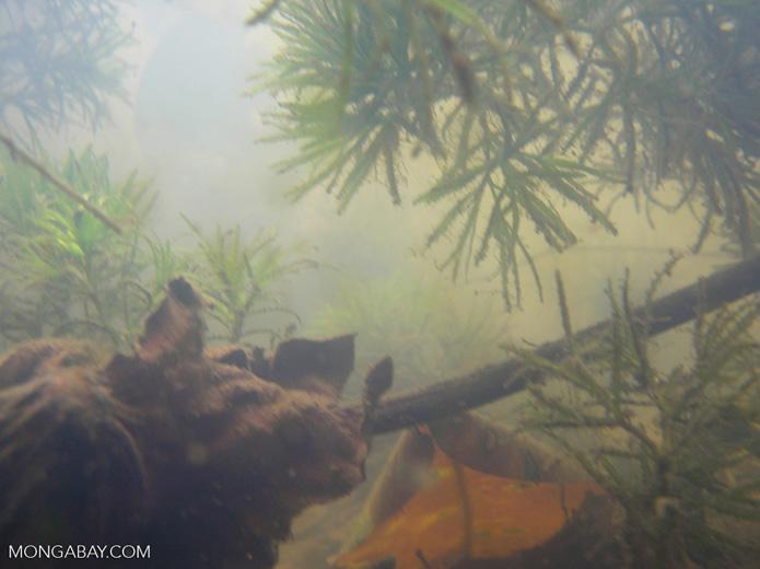 Foxtail aquatic plants in Amazon Oxbow lake [underwater-manu129]