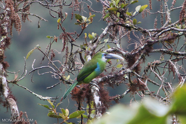 Blue-banded Toucanet (Aulacorhynchus coeruleicinctis)