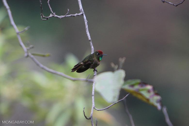 Rufous-capped thornbill [manu_0125]