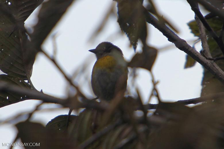 Common bush-tanager [manu_0138]