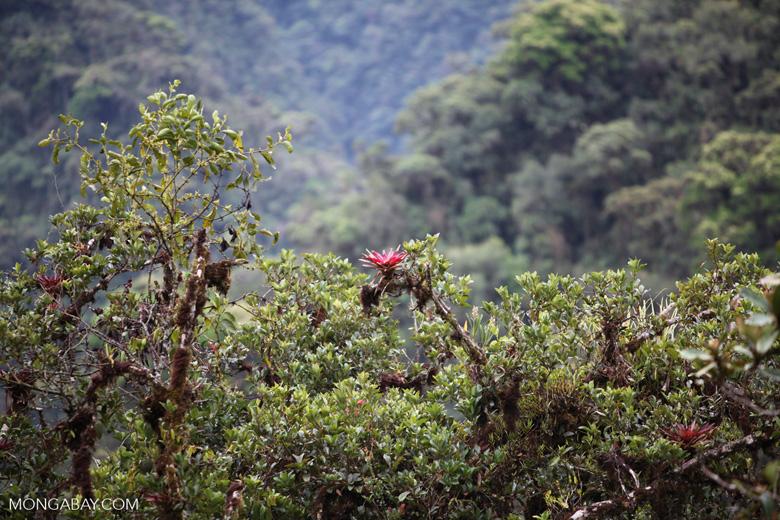 Red bromeliads (Racinaea) in Manu cloud forest