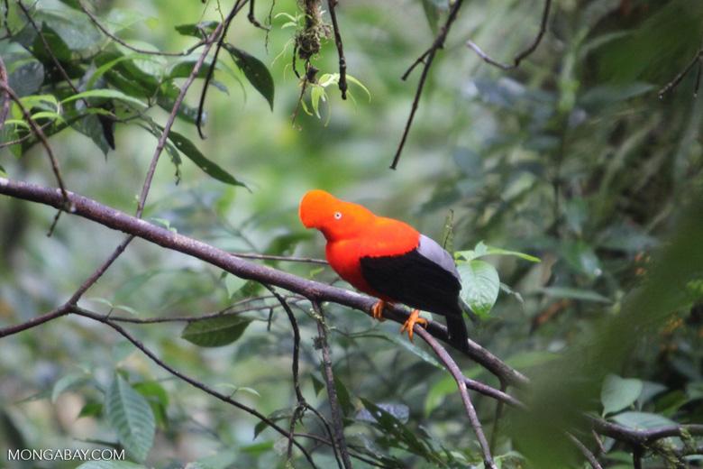 Male Andean Cock-of-the-rock (Rupicola peruvianus)