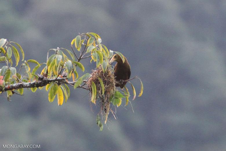 Oropendula [manu_0305]