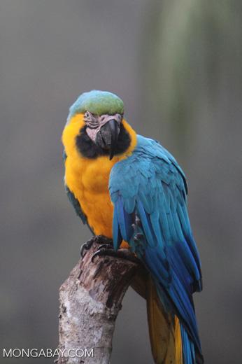 Blue-and-yellow macaw in Peru [manu_0432]