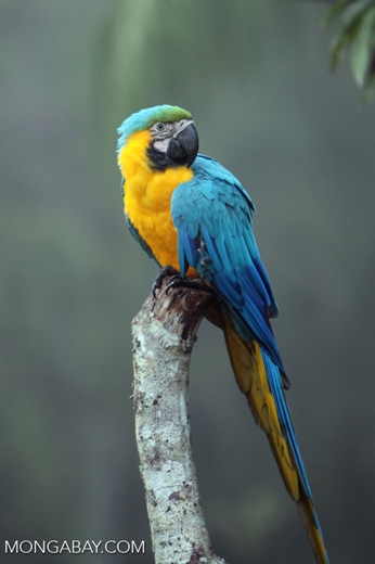 Blue-and-yellow macaw in Peru