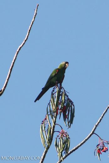 Mealy parrot [manu_0475]