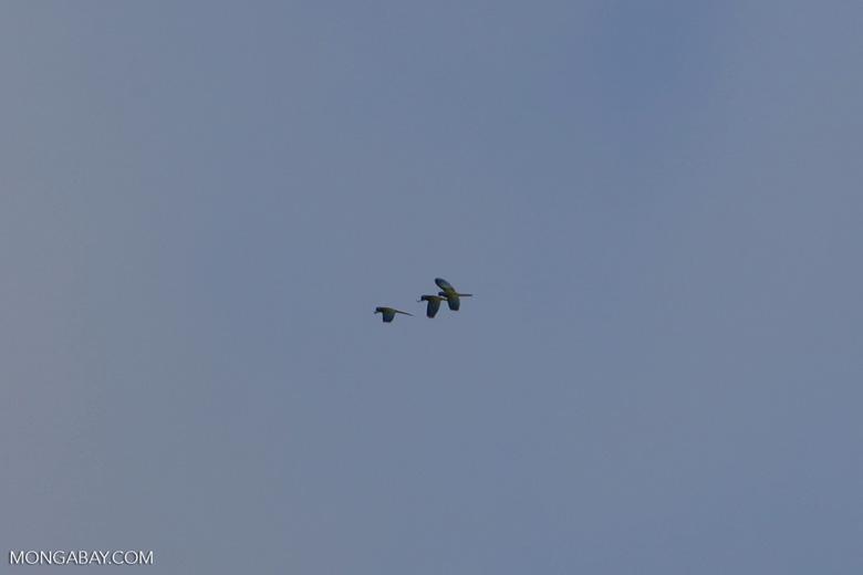 Macaws in flight