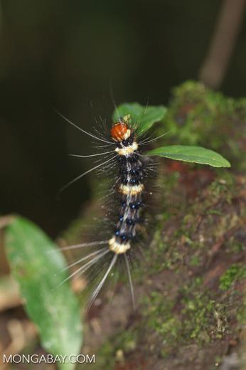 Orange, blank, and yellow caterpillar [manu_0558]
