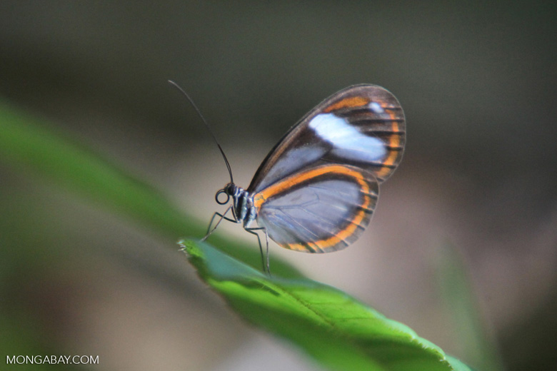 Greta oto butterfly in the Amazon
