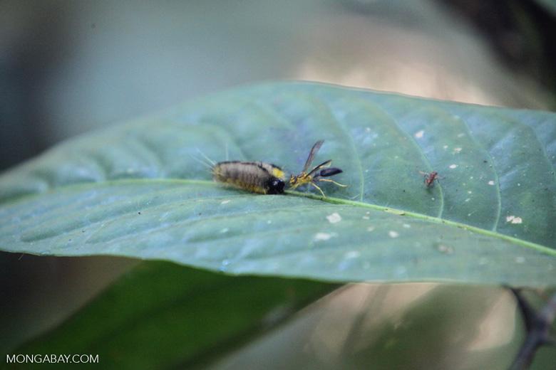 Wasp eating a caterpillar [manu_0608]