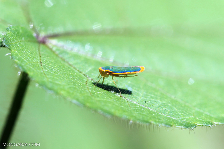 Turquoise and orange leafhopper