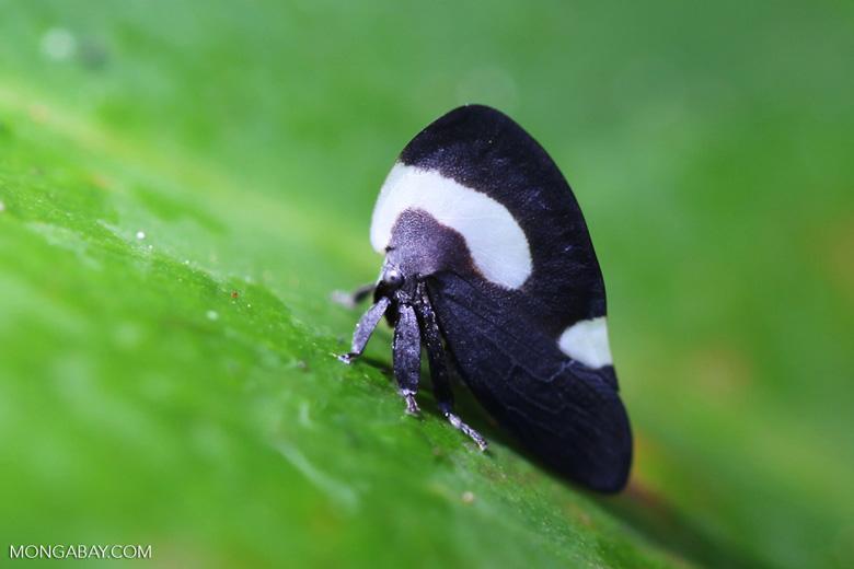 Darth Vader planthopper [manu_0755]